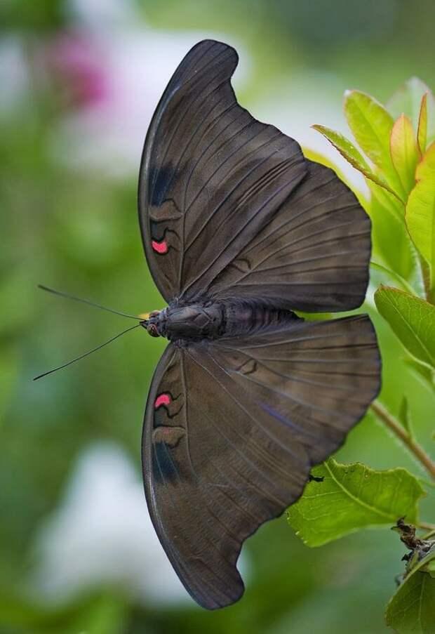 Вкусовые рецепторы у балочек находятся на ногах, поэтому для того, чтобы распознать еду бабочке нужно встать на нее бабочки, интересное, красота, насекомые