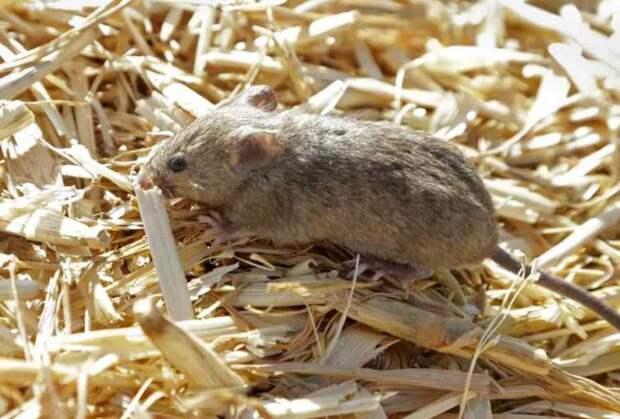 Видео для любителей пощекотать нервы: миллионы необузданных диких мышей