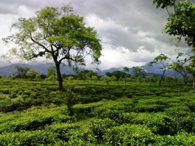 5 важных сортов индийского чая для здорового тела и разума