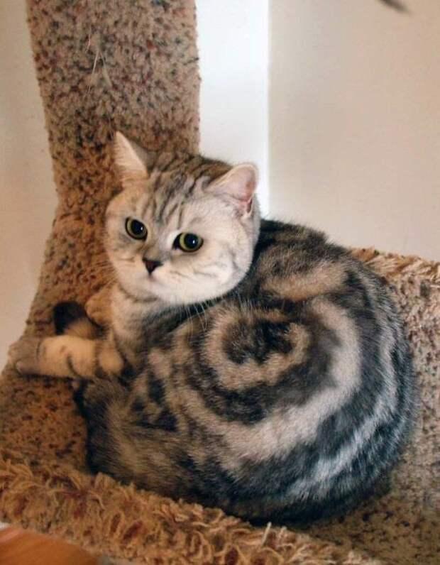Булочка Синнабон животные, забавно, коты, кошки, неожиданно, окрас, окрас кошек, фото