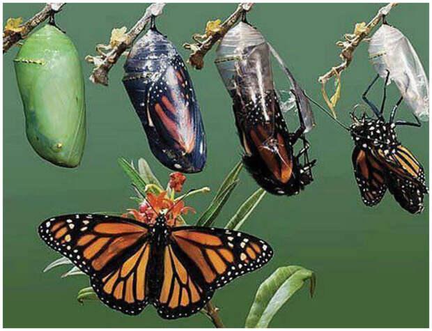 Из куколки - в бабочку бабочки, интересное, красота, насекомые