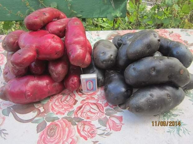 Цветной картофель в Сибири