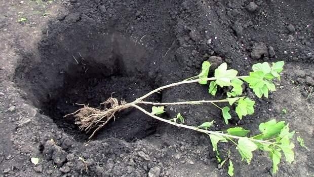 Спешите посадить ягодники, если не успели осенью!