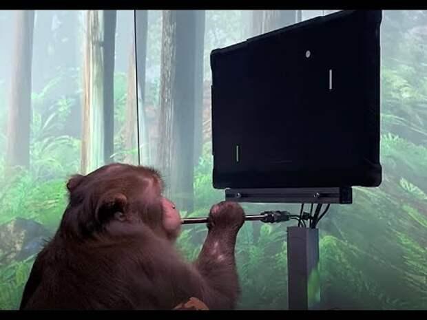 Компания Илона Маска научила обезьяну играть в пинг-понг силой мысли. Видео