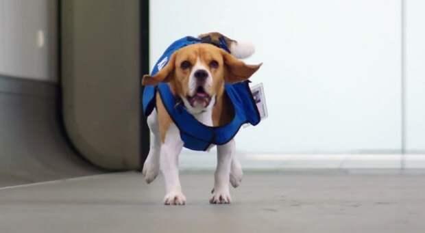 Голландская авиакомпания нанял пса для возврата забытых пассажирами вещей