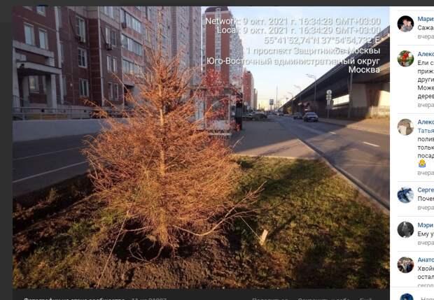 Молодая ель засохла на проспекте Защитников Москвы