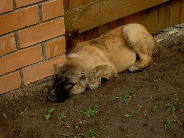 Грустный щенок кавказской овчарки фото собаки, Грустный щено…