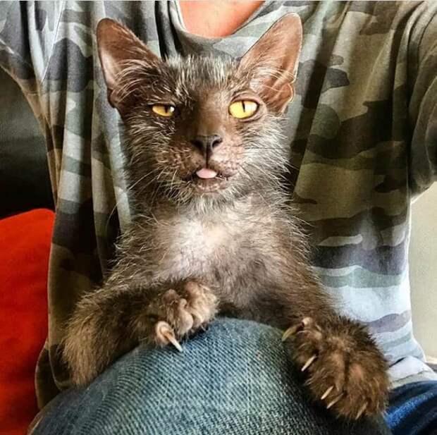 Кошка породы ликой перешла мне дорогу, после чего мне пришлось жить с ней в одном доме