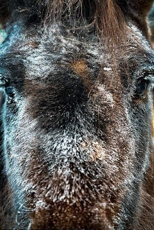 Якутских лошадей часто используют в качестве верховых лошадей Порода, животные, лошадь, россия, саха, фото, якут, якутия