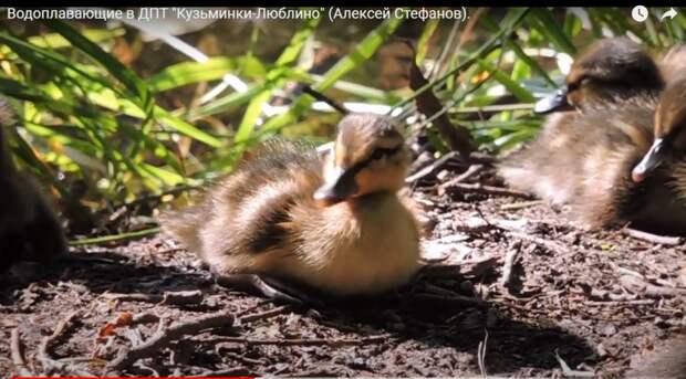 Натуралист снял ролик о жизни уток в парке «Кузьминки-Люблино»