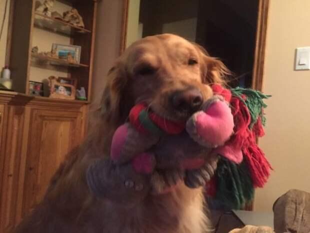 Этот пес решил показать гостям все свои игрушки Эти забавные животные, животные, забавно, зверские шутки, смешно, собаки, ты не поверишь, фото