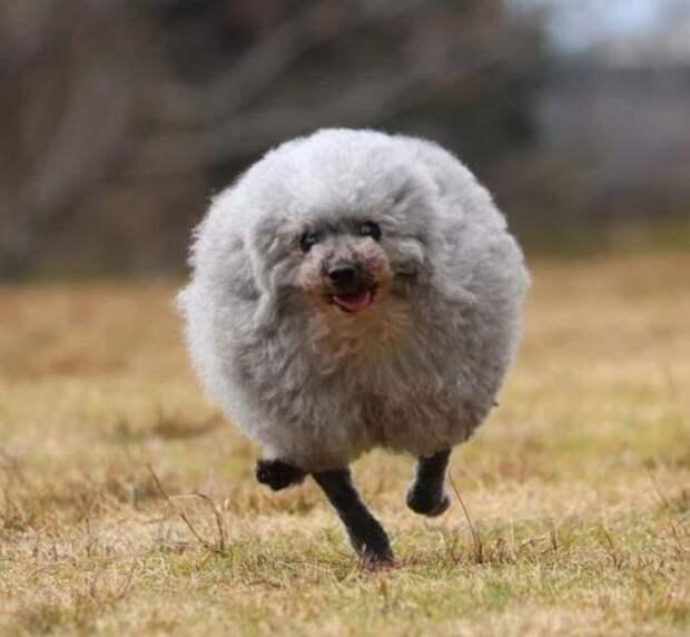 Хозяин постриг пуделя и вместо пса получил овечку