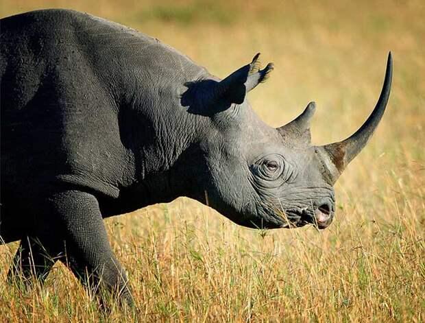 Чёрный носорог.