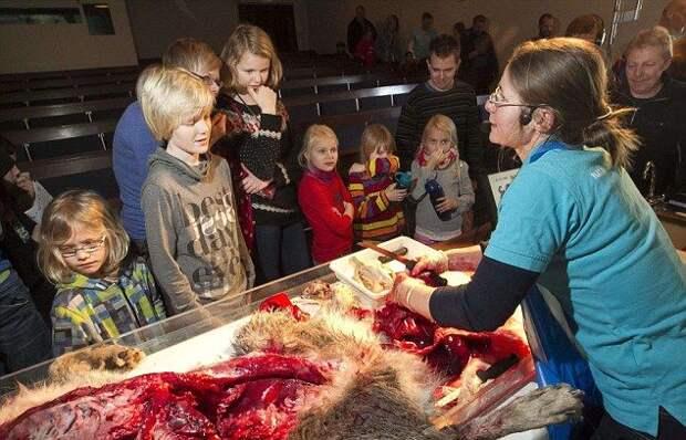 Датских детишек научили препарировать волка