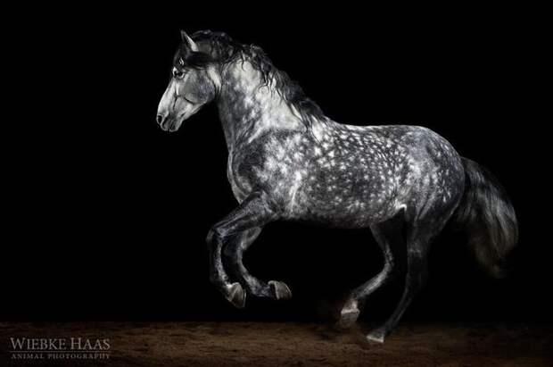 Вождь животные, искусство, лошади, фотография