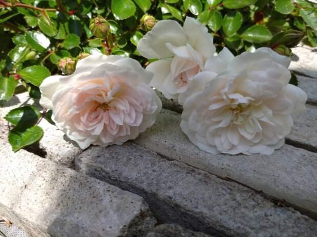 Почвопокровная роза Свани