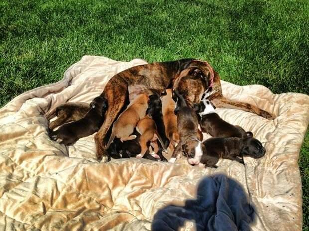 Временно взяв в дом 11-ю собаку, девушка и подумать не могла, что питомица родит целых 12 щенков
