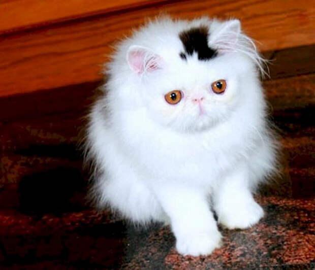 Кот, который всегда в шляпе животные, забавно, коты, кошки, неожиданно, окрас, окрас кошек, фото
