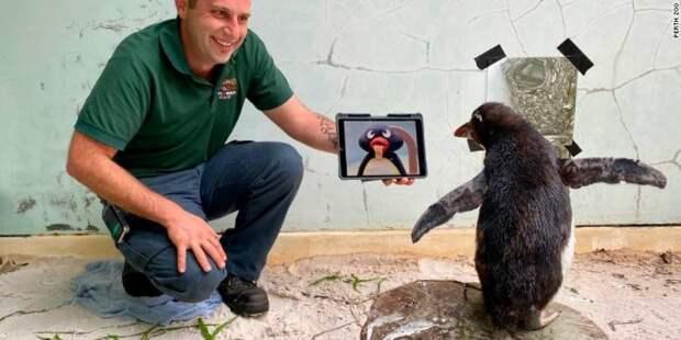 Австралийцы лечат одинокого пингвина мультфильмами