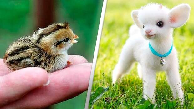 ТОП-12 милейших детенышей животных (Видео)