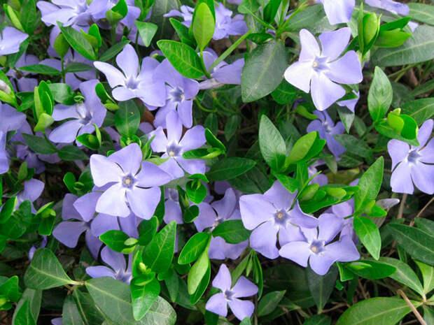 Многолетний садовый цветок Барвинок (Vinca)