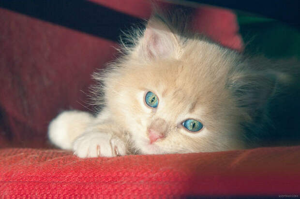 Смотрите, как меняется с синего на желтый цвет глаз этого котенка животные, котики, лучи, погреться, солнечные ванны, солнце, температура, тепло