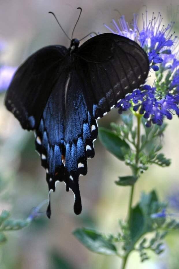 Бражники могут развить скорость до 60 км/ч и покрывают за минуту расстояние, которое больше их тела в 25-30 тысяч раз бабочки, интересное, красота, насекомые