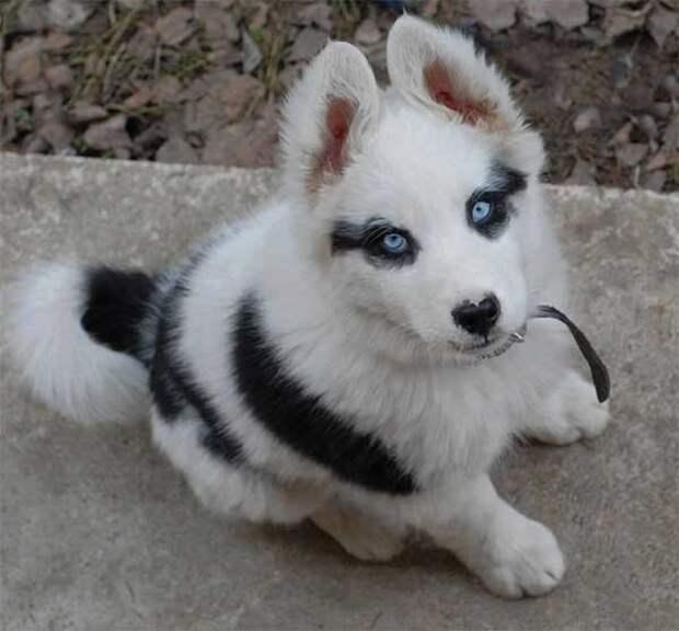 Зорро животные, мутации, невероятно, необычно, окрас, собаки, удивительно, фото