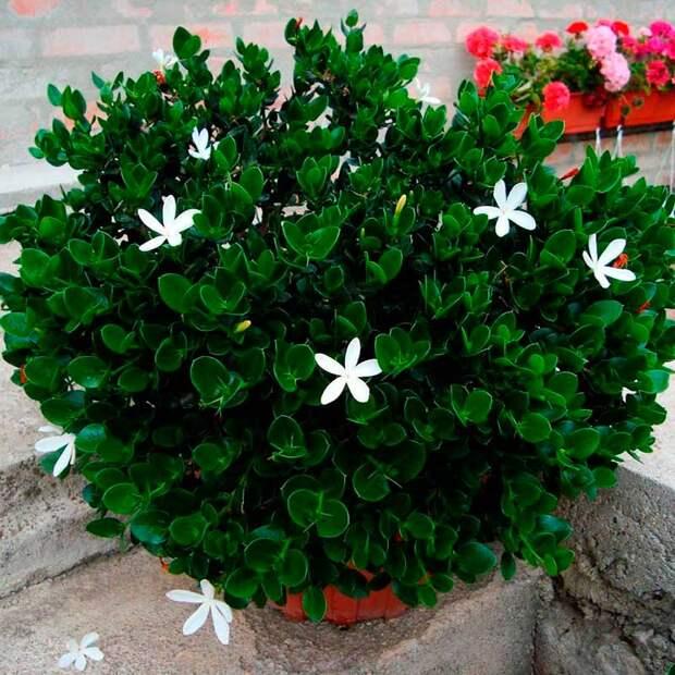 Комнатное растение Карисса (Carissa)