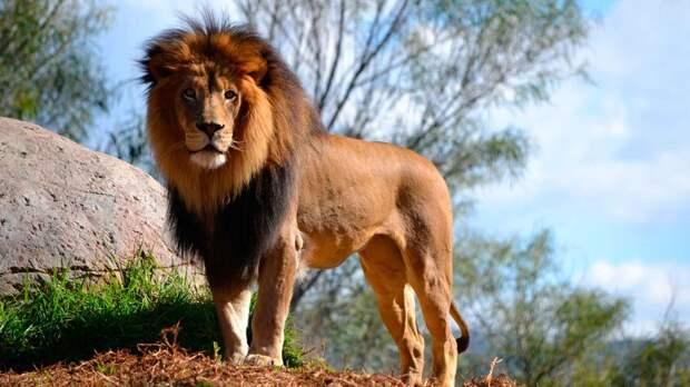 Почему лев - царь зверей?