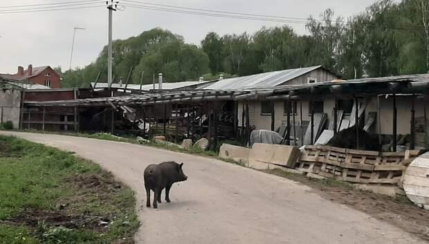 Подольчане пожаловались на фермера, животные которого свободно гуляют