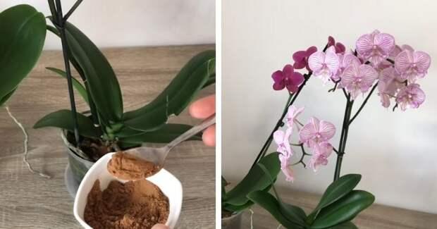 Дайте каждой орхидее по 1 ложке натурального средства, особенно если она давно не цветёт