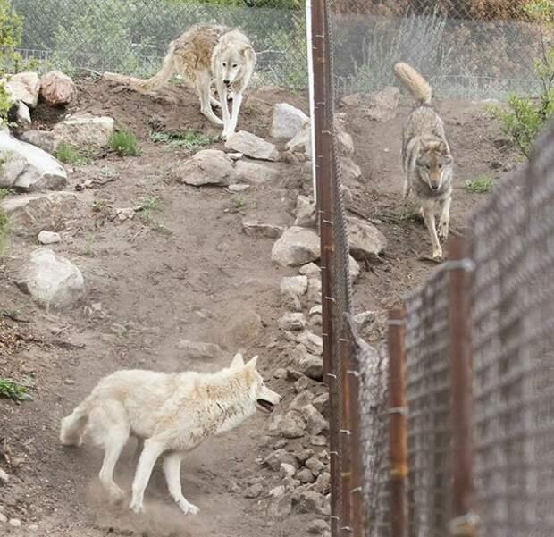 Хозяин понял это и согласился отдать Неона в специальный центр для таких же полусобак-полуволков, где необычный щенок нашел счастье, к которому так стремился. америка, волк, животное, собака, щенок