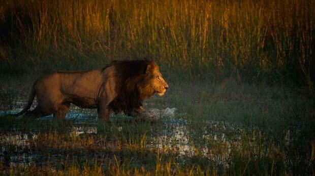 Лев царь зверей потому что он является древнейшим животным