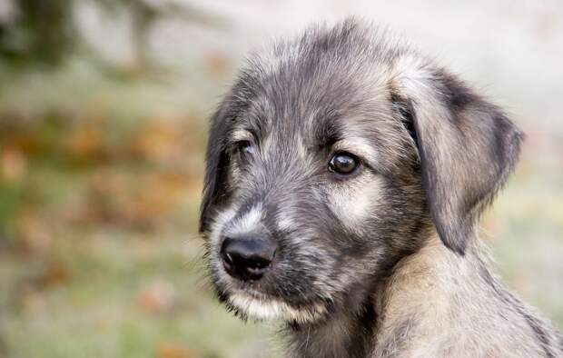 Картинки по запросу щенок волкодава
