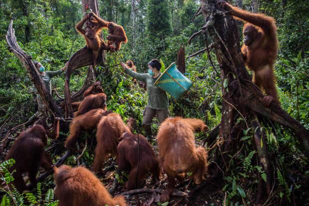 Осиротевшие орангутанги