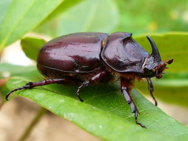 Удивительное создание природы. Жук носорог животные, жук-носорог, интересно знать, факты