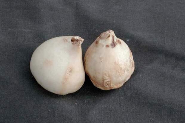 Фузариоз тюльпана