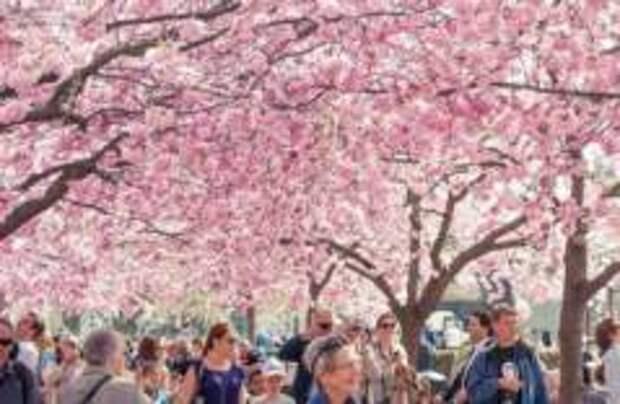 Цветение сакуры в Стокгольме