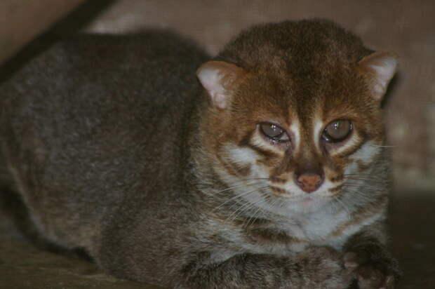 Суматранская кошка дикие кошки, животные, кошки, природа