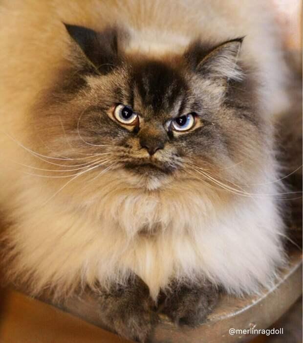 Самый сердитый котя в мире ненавидит всё и всех выражение морды, домашний питомец, животные, кот, милота