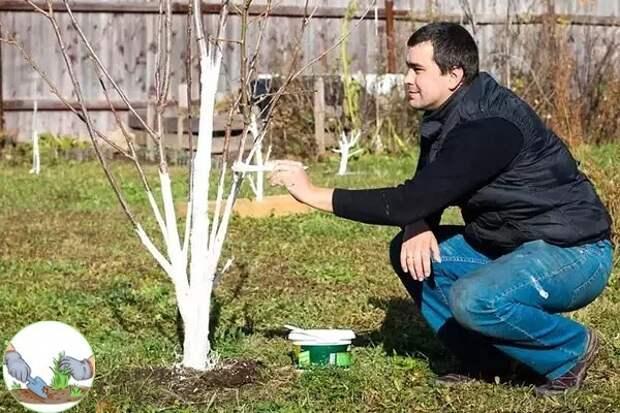 Простой рецепт побелки деревьев осенью. Защитит деревья и не смоется за зиму