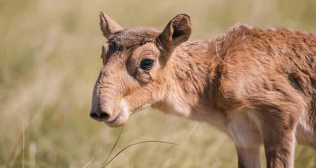 МЭГПР РК назвало варианты решения вопроса миграции уральской популяции сайгаков