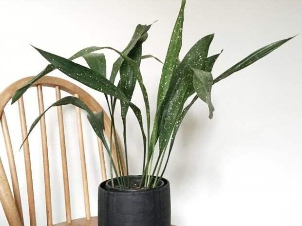Аспидистра, цветок, комнатное растение