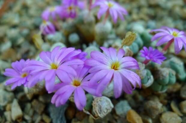 Конофитум (Conophytum herreanthus)