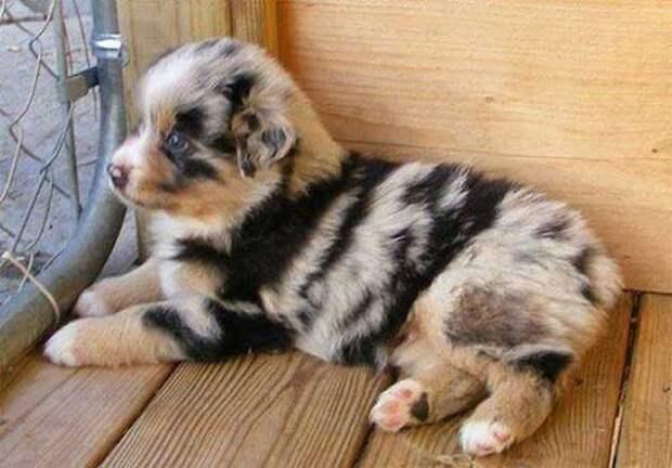 Эксклюзивный мех животные, мутации, невероятно, необычно, окрас, собаки, удивительно, фото