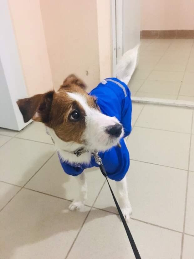 Породистый пес прыгал по улицам на трех лапах парсон-рассел-терьер, порода, собака, терьер