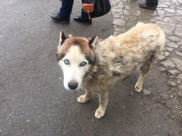 В грязном уличном псе едва удалось признать статного хаски истории спасения, пес, собака, хаски