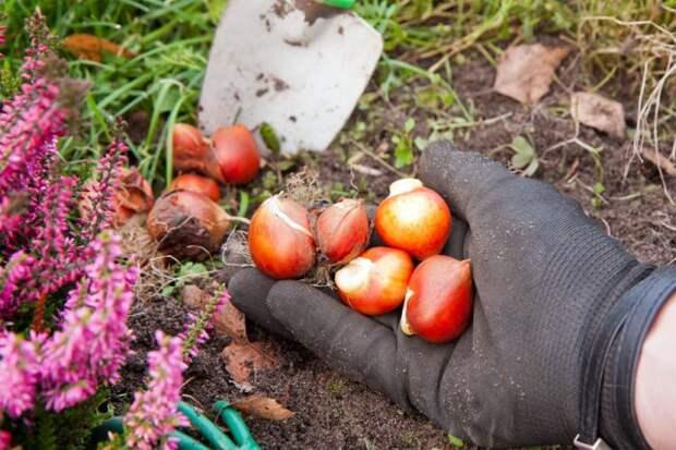 Когда выкапывать и как сохранить луковицы тюльпанов