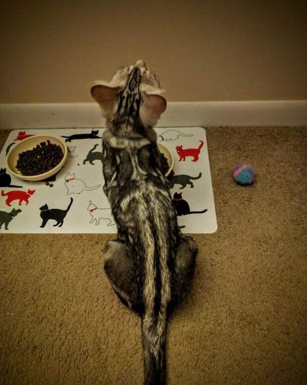 Кот с мечом животные, забавно, коты, кошки, неожиданно, окрас, окрас кошек, фото
